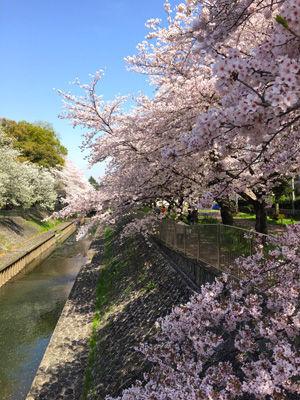 IMG_2939sakura.jpg