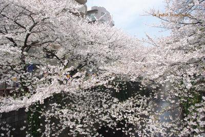 IMGP3933目黒川桜